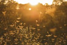 Field In Golden Hour