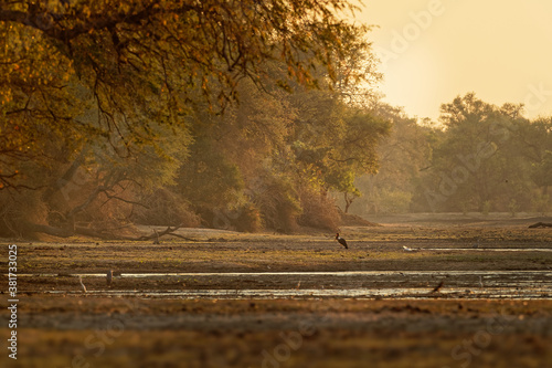 Landscape scenery in Mana Pools National Park in Zimbabwe, Africa with Saddle-billed Stork (Ephippiorhynchus senegalensis) and lot of another species during sunset or sunrise