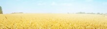 Golden Wheat Field Close-up. Abstract Natural Pattern, Texture, Background, Wallpaper. Panoramic View. Agriculture, Farm And Food Industry, Alternative Production, Traditional Craft