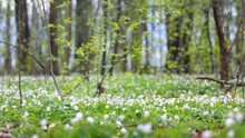 Forest Floor Of Blooming White Wild Anemone Flowers And Green Leaves Under The Tall Trees. Idyllic Spring Rural Scene. Nature, Landscape, Ecology, Environmental Conservation In Latvia, Europe