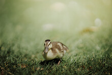 View Of An Duckling On Grass