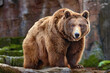 canvas print picture - Picture of a big brown bear