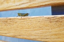Green Grasshopper On The Wood