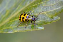 Cucumber Beetle On Leaf 03