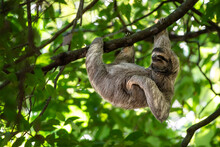 Funny Sloth Hanging On Tree Br...