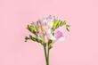 Beautiful tender freesia flowers on pink background