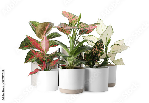 Fototapeta Beautiful Aglaonema plants in flowerpots isolated on white