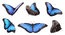 Set Of Beautiful Blue Morpho Butterflies On White Background. Banner Design