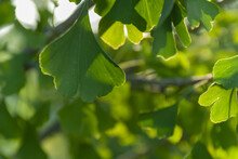 Selective Focus Shot Of Ginkgo...