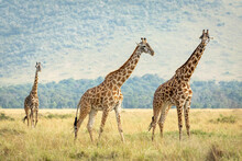 Three Adult Female Giraffes Wa...