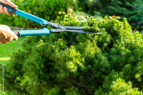 Foto Female hands with garden shears while pruning a dwarf spruce in the bright sun