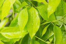 Leaf Of Cinnamomum Camphora T...