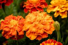 Orange Marigolds In A Garden I...