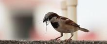 Single Sparrow Hold Nest Piece In The Beak