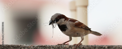 Carta da parati single sparrow hold nest piece in the beak