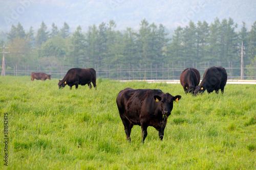 牛の放牧 Canvas Print