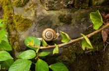 A Light Brown Snail (Caucasota...