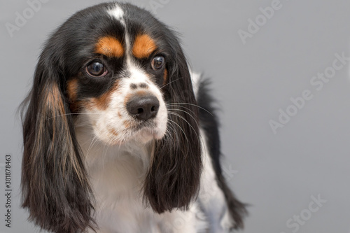 Fototapeta Cavalier King Charles Spaniel dog