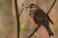The Fieldfare (Turdus Pilaris)...