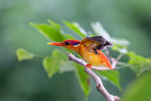 The Oriental Dwarf Kingfisher Is A Small Bird. Beautiful Colors, Bright Red Mouth, Rump Head And Purple Pink Tail. The Face Is Yellow-orange, The Fur Covers The Ears With Dark Blue And White Stripes