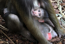 A Mandrill Monkey (Mandrillus ...