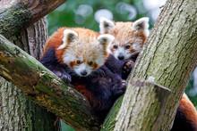Cute Red Pandas (Ailurus Fulge...