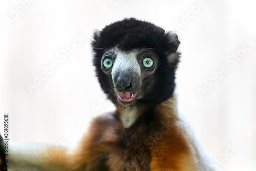 Fototapeta premium crowned sifaka (Propithecus coronatus) in bright sunlight outdoors, close up shot