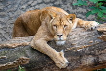 Wild Lioness (panthera Leo) On...
