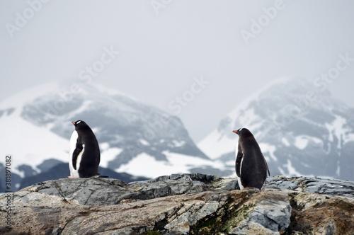 penguin in polar regions Canvas