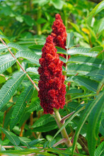 View Of A Staghorn Sumac Tree In Maine