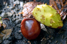 Ripe Fruit Of The Horse Chestn...