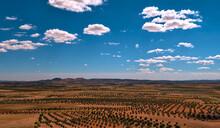 Campo Agricola De Olivos Con L...