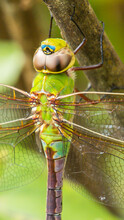Green Dragonfly On A Branch