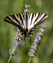 Scarce Swallowtail Butterfly (Iphiclides Podalirius) With Open Wings Sitting On A Purple Lavender Flower