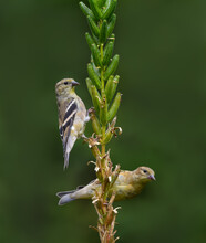 Two American Goldfinches Foraging In Fall On Green Background