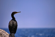 Cormorant On A Rock By The Sea
