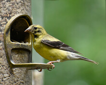 Male American Goldfinch Moltin...