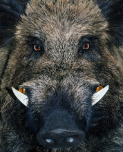 Head Wild Boar Quarantine Anim...