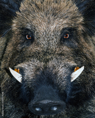 Photo Head wild boar Quarantine animal Biosecurity African swine fever epidemic