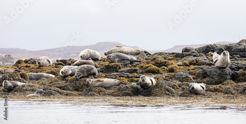 Foto A colony of Harbour seals relaxing amongst the rocks and seaweed along the coast of Scotland