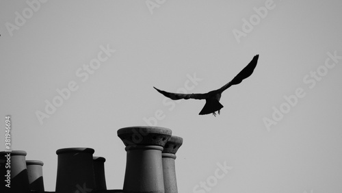 Fotografia Black and white photo of a crow taking flight from on top of roof with chimney s