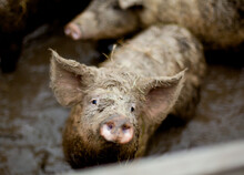 Pig With Fur In The Mud. Farm