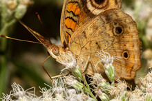 Close Up Macro Lens Image Of A Common Buckeye Butterfly (junonia Coenia) On Common Boneset Wild Flowers. This Is A Brown Butterfly With Velvety Wings That Have Prominent Eye Shapes. It Is Migratory.