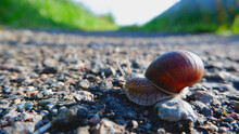 A Large Snail Crawling Across ...
