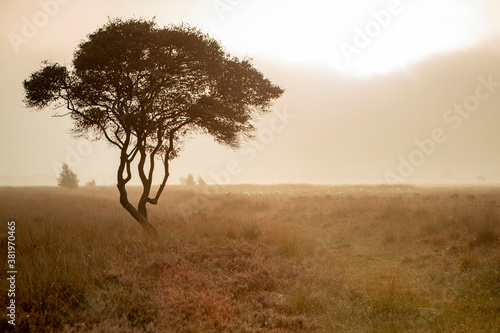Fotografering Golden rays of early morning sunrise moorland landscape with a single tree with meandering branches contrasted against a moist misty fog background