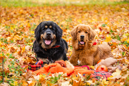 Fototapeta Two dogs lie in the autumn foliage and look at the camera