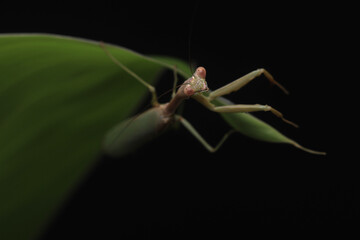 Green Praying Mantis on Black Background