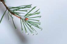 Fir Branch In Hoar Frost On Co...