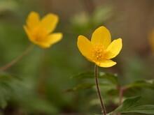 Yellow Wood Anemone (Anemonoides Ranunculoides) - Close Up Of Yellow Anemone Flowers, Gdansk, Poland