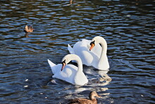 White Swans On The Autumn Lake. A Pair Of Inseparable Swans Lives And Hibernates On The White Lake In St. Petersburg, They Are Always Together And Take Care Of Each Other.